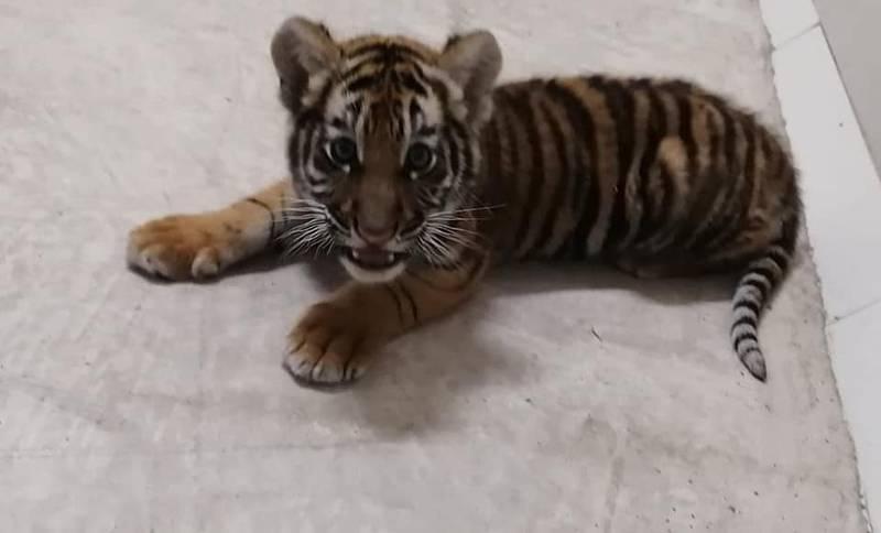 Traficante de animales: lo detienen con cachorro de tigre en su auto
